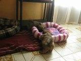 2 petites femelles shih tzus lof du clos chadocay