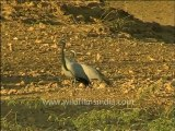 Gujarat-Gir-DVC-Bird video.mov