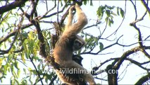 hoolock gibbon- hdv-fx-1-tape-13-2.mov
