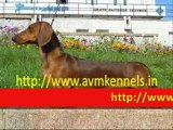 Puppies for Sale in Chennai,Pet Dogs for Sale in Porur,Chennai,Puppies for Sale in Chennai,puppies Available in Chennai.