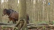 Le Havre : débardage à cheval dans la forêt de Montgeon