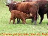 Ganadería bovina Salers VINCENT PESCHER : Vacas, Terneros y Toros en Enero 2013