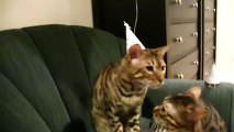 Happy Birthday Bengal Cats Rocket & Rumble Linus Cat Tips