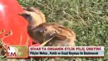 SİVAS ORGANİK ETLİK PİLİÇ ÜRETİMİ - sivashaber.com.tr