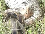 Python eating a Langur monkey!-MPEG-4 800Kbps.mp4