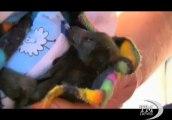 Piccolo pipistrello salvato dalle fiamme in Australia. La fauna messa a dura prova dagli incendi che devastano il paese