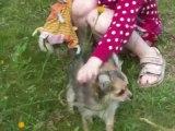 petit chiot chihuahua poil long
