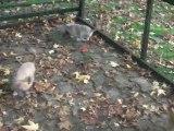 petits chiots chihuahua mini