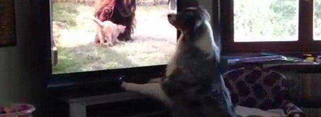 Cane guarda gatto che si avvicina ad un orango