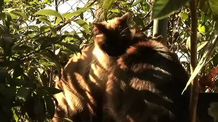 Gatti Siamesi che amano le coccole