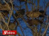Bu tavuklar ağaçta yaşıyor! - İhlas Haber Ajansı (İHA)