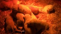 Les bébés labradors à 3 semaines