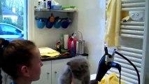 le brushing de mademoiselle H- ARYANA, jolie petite demoiselle Persane bleue crème