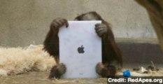 Orangutans Using iPad Apps for Stimulation and Awareness