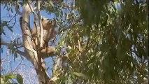 Un koala, blessé à la patte, sauvé dans le sud de l'Australie