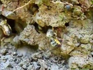 Abeilles maçonnes extrayant la boue pour leurs nids