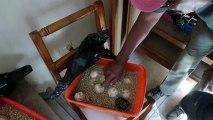 Ratten gegen Schildkröten: Überlebenskampf auf Galápagos-Inseln