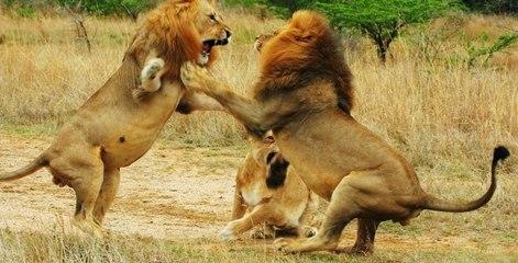 NG | Sürünün Gücü: Vahşi Aslanlar