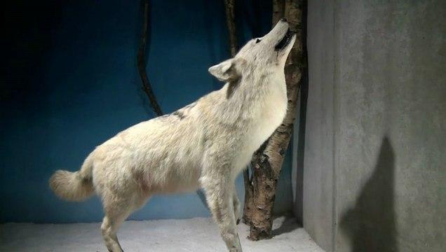 Finistère. Un musée du loup unique en France au Cloître Saint-Thégonnec