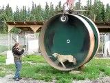 Une roue de hamster pour chien