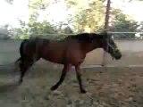 Obstacle 1m45 cheval à vendre