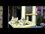 هل تعرف إلی أین تنظر هذه القطط؟