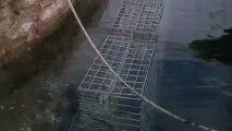 Mèze : près de 200 cages sont posées dans les eaux du port dans le cadre du projet Biohut