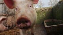 Les Cochons 2 : De la confiture pour les cochons !