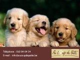 Eleveur canin élévage chiots Brabant Wallon