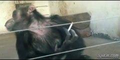 Ce singe en captivité fume cigarette sur cigarette