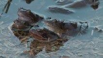 Jungle d'eau douce : Les amphibiens