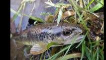 Pêche à la mouche / Rivières et truites du Morvan