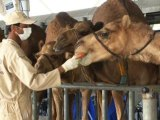 Cows of the desert: Camel milk set to go global