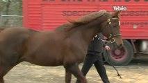 Salon du cheval : Faire connaître les chevaux bretons