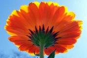 Flowers - Flores - Fleurs