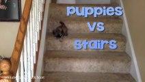 Les chiots ont un soucis avec les escaliers