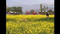 Farmers Hope for Bumper Production of Mustard Crop in India's Kashmir