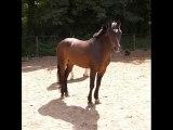 chevaux et poneys de Quéven