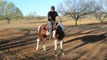 "American Paint Horse Bay Tobiano Stallion 5 Year old ""Zeus"" CCR ZACKS TRU PEPPY"