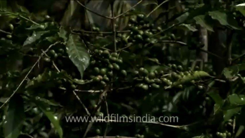 Coffee beans on a coffee tree