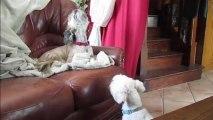 Chants canins