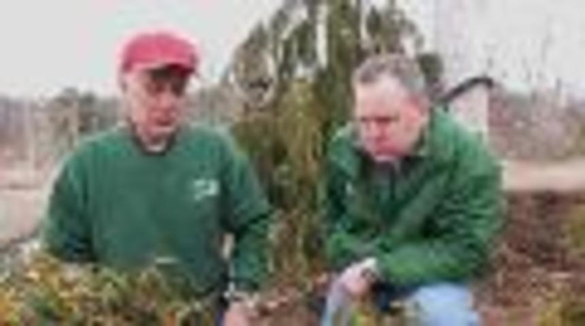 How To Prune Mountain Laurel Video Dailymotion