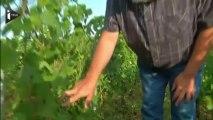 Vin : petites vendanges pour le millésime 2013