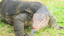 Connecticut Police Forced to Kill Chicken-Attacking Monitor Lizard