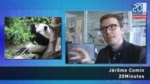 Les pandas : Qui sont-ils ? Quels sont leurs réseaux ?