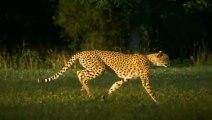 Cheetah Running In Super Slow Motion