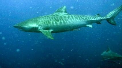 Tigerhai Tauchen