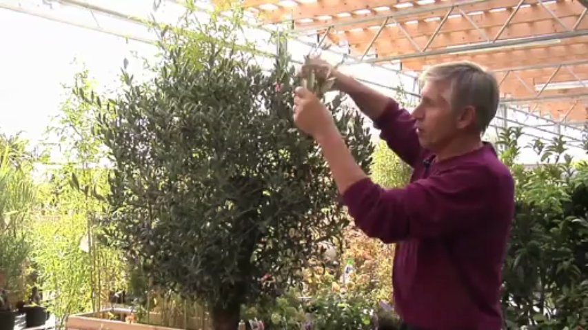 Tailler un olivier : les bons conseils