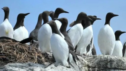 The Guillemots Resource | Learn About, Share and Discuss the
