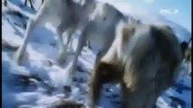 Duels sauvages - Le loup contre le puma